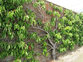 spalierobst hier ein kirschbaum in england. Black Bedroom Furniture Sets. Home Design Ideas