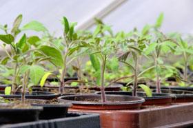Junge Tomatenpflanzen bei der Anzucht